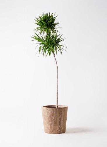観葉植物 ドラセナ ボレロ 10号 ウッドプランター 付き