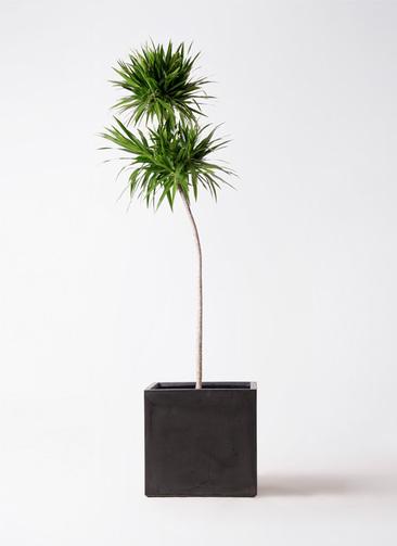 観葉植物 ドラセナ ボレロ 10号 ファイバークレイ 付き
