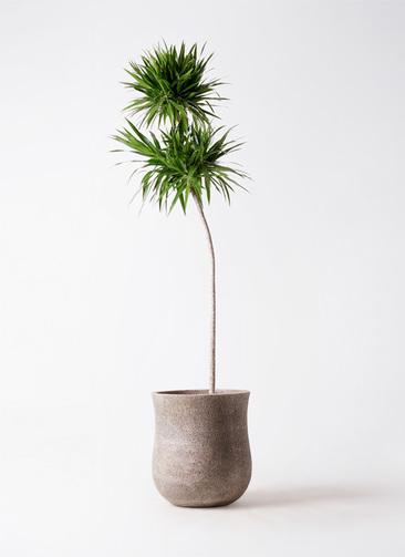 観葉植物 ドラセナ ボレロ 10号 アローナラウンド ベージュ 付き