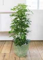 観葉植物 カポック(シェフレラ) 8号 ノーマル アビスソニア ミドル 緑 付き