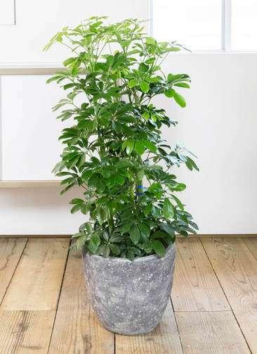 観葉植物 カポック(シェフレラ) 8号 アビスソニア ミドル 灰 付き