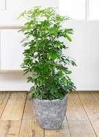 観葉植物 カポック(シェフレラ) 8号 ノーマル アビスソニア ミドル 灰 付き