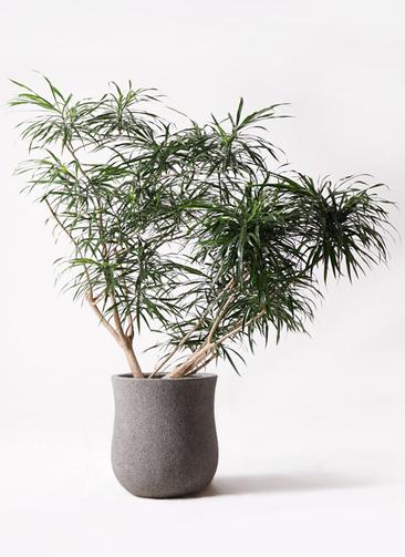 観葉植物 ドラセナ アンガスティフォリア 10号 ボサ造り アローナラウンド グレイ 付き