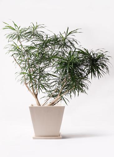 観葉植物 ドラセナ アンガスティフォリア 10号 ボサ造り パウダーストーン 白 付き
