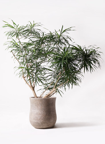 観葉植物 ドラセナ アンガスティフォリア 10号 ボサ造り アローナラウンド ベージュ 付き