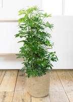 観葉植物 カポック(シェフレラ) 8号 リブバスケットNatural 付き