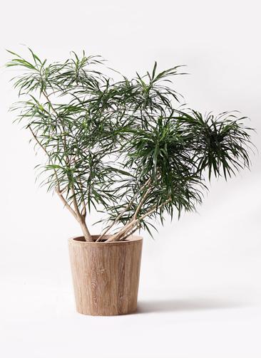 観葉植物 ドラセナ アンガスティフォリア 10号 ボサ造り ウッドプランター 付き