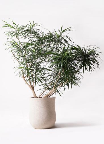 観葉植物 ドラセナ アンガスティフォリア 10号 ボサ造り アローナラウンド 白 付き