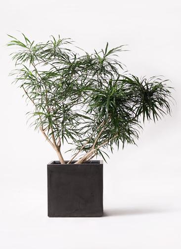 観葉植物 ドラセナ アンガスティフォリア 10号 ボサ造り ファイバークレイ 付き
