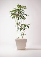 観葉植物 ツピダンサス 10号 曲り パウダーストーン 白 付き