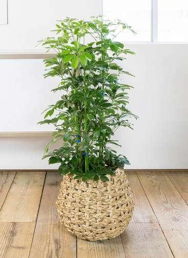 観葉植物 カポック(シェフレラ) 8号 ラッシュバスケット Natural 付き