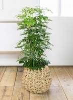 観葉植物 カポック(シェフレラ) 8号 ノーマル ラッシュバスケット Natural 付き