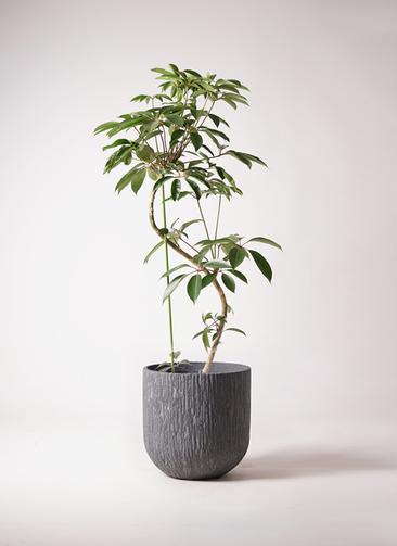 観葉植物 ツピダンサス 10号 曲り カルディナダークグレイ 付き