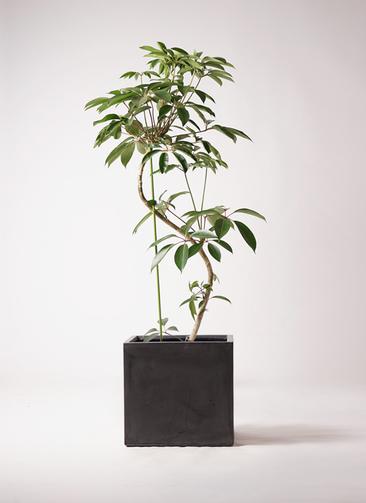 観葉植物 ツピダンサス 10号 曲り ファイバークレイ 付き