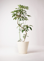 観葉植物 ツピダンサス 10号 曲り フォリオソリッド クリーム 付き