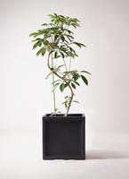 観葉植物 ツピダンサス 10号 曲り ブリティッシュキューブ 付き