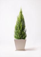 観葉植物 ゴールドクレスト 10号 パウダーストーン 白 付き