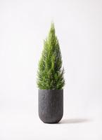 観葉植物 ゴールドクレスト 10号 カルディナトールダークグレイ 付き