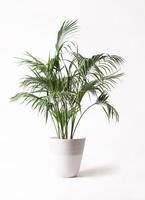 観葉植物 ケンチャヤシ 10号 ジュピター 白 付き