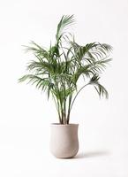 観葉植物 ケンチャヤシ 10号 アローナラウンド 白 付き