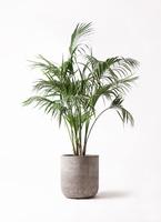 観葉植物 ケンチャヤシ 10号 エルバ 白 付き