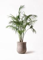 観葉植物 ケンチャヤシ 10号 アローナラウンド ベージュ 付き