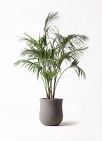 観葉植物 ケンチャヤシ 10号 アローナラウンド グレイ 付き