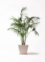 観葉植物 ケンチャヤシ 10号 パウダーストーン 白 付き