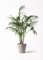 観葉植物 ケンチャヤシ 10号 アートストーン ラウンド グレー 付き