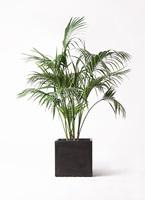 観葉植物 ケンチャヤシ 10号 ファイバークレイ 付き