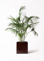 観葉植物 ケンチャヤシ 10号 MOKU キューブ 付き