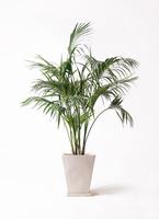 観葉植物 ケンチャヤシ 10号 スクエアハット 白 付き