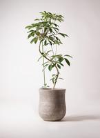 観葉植物 ツピダンサス 10号 曲り アローナラウンド ベージュ 付き