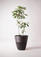観葉植物 ツピダンサス 10号 曲り ジュピター 黒 付き