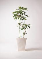 観葉植物 ツピダンサス 10号 曲り スクエアハット 白 付き