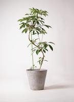 観葉植物 ツピダンサス 10号 曲り アートストーン ラウンド グレー 付き