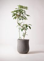 観葉植物 ツピダンサス 10号 曲り アローナラウンド グレイ 付き