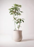 観葉植物 ツピダンサス 10号 曲り アローナラウンド 白 付き