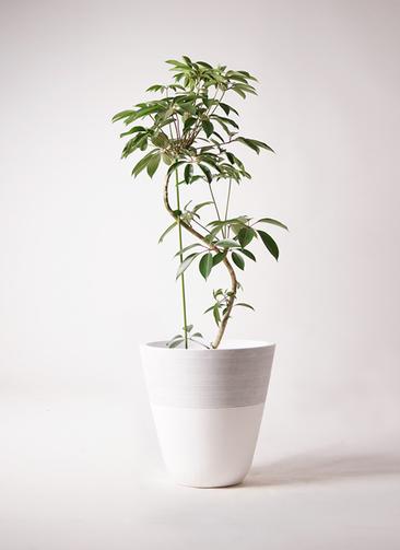 観葉植物 ツピダンサス 10号 曲り ジュピター 白 付き