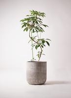 観葉植物 ツピダンサス 10号 曲り エルバ 白 付き