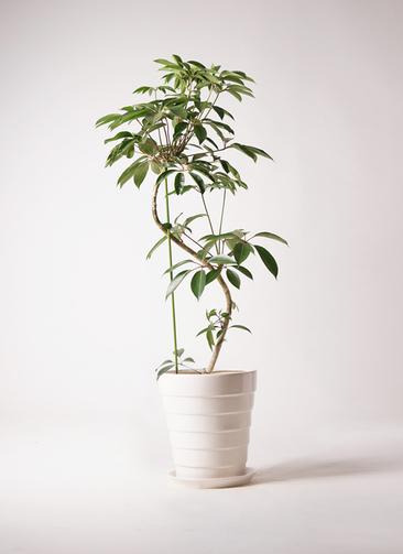 観葉植物 ツピダンサス 10号 曲り サバトリア 白 付き