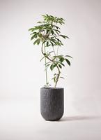 観葉植物 ツピダンサス 10号 曲り カルディナトールダークグレイ 付き
