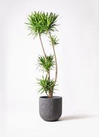 観葉植物 ドラセナ ナビー 10号 カルディナダークグレイ 付き