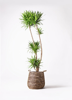 観葉植物 ドラセナ ナビー 10号 リゲル 茶 付き