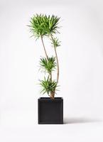 観葉植物 ドラセナ ナビー 10号 ブリティッシュキューブ 付き