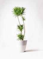 観葉植物 ドラセナ ナビー 10号 ジュピター 白 付き