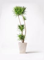 観葉植物 ドラセナ ナビー 10号 スクエアハット 白 付き