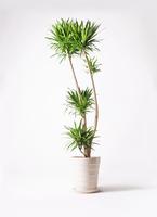 観葉植物 ドラセナ ナビー 10号 サバトリア 白 付き