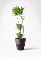 観葉植物 ドラセナ ナビー 10号 ジュピター 黒 付き