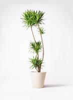 観葉植物 ドラセナ ナビー 10号 フォリオソリッド クリーム 付き